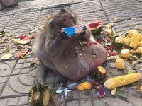 Karena Terlalu Banyak Makan Junkfood, Monyet Ini Jalani Diet Ketat