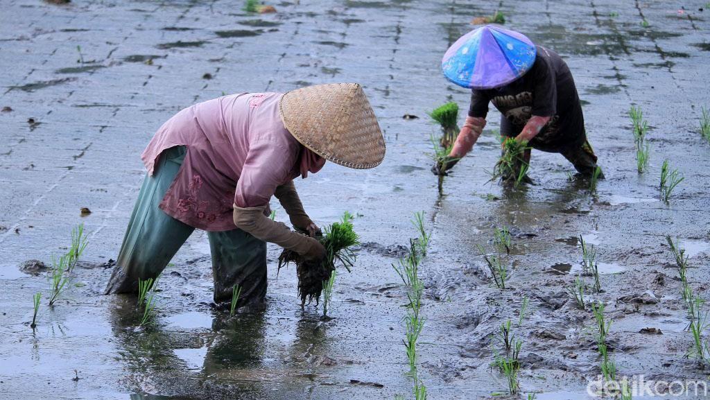 Ada Hujan, Panen Raya Beras Diprediksi Molor Dua Minggu