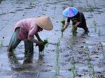 Kedaulatan Pangan dan Paradoks Pembangunan Pertanian