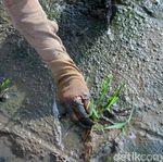Keunggulan Lahan Rawa Jadi Sawah: Air Tersedia Sepanjang Tahun
