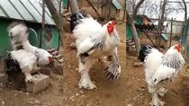 Wouw! Ayam Terbesar di Dunia Ini Tingginya Hampir 1 Meter!