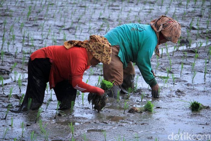 Para ibu-ibu menanam padi di areal persawahan di Kampung Bojong, Selasa (4/12/2018).