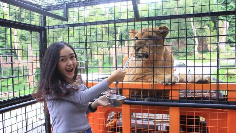 Pengunjung Taman Safari Bogor memberi makan singa Afrika (dok Taman Safari Indonesia)