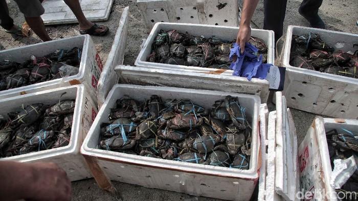Petugas Pengendalian Mutu dan Keamanan Hasil Perikanan KKP gagalkan penyelundupan 1.215 kepiting. Kini seribuan kepiting itu dilepaskan di Taman Hutan Mangrove Pulau Pari.