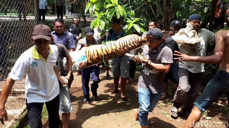 Ngeri! 2 Harimau di Kebun Binatang Semarang Lepas dari Kandang