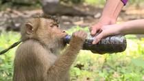 Aksi Primata Pemetik Kelapa di Krui Lampung