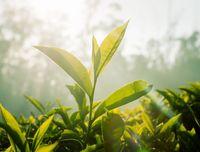 Teh Rendah Kafein Baru Saja Ditemukan di China