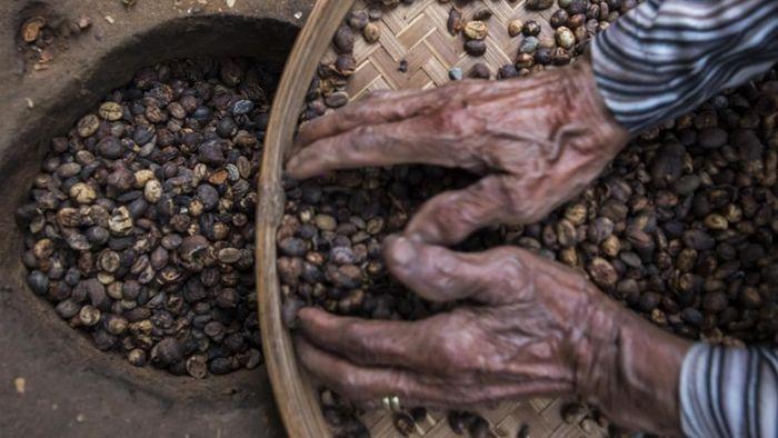 Ilustrasi biji kopi/Foto: Antara Foto