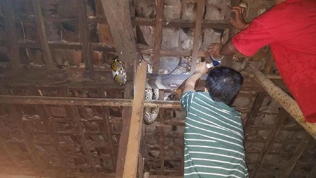 Proses evakuasi ular piton di langit-langit rumah warga Dusun Nggondel Wetan, Krambilsawit, Saptosari, Gunungkidul.
