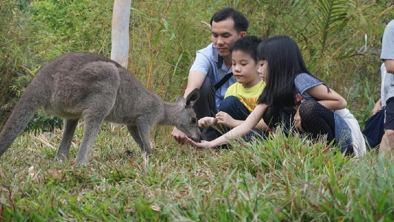Pengunjung Taman Safari Prigen memberi makan kanguru /Foto: Dok Taman Safari Indonesia