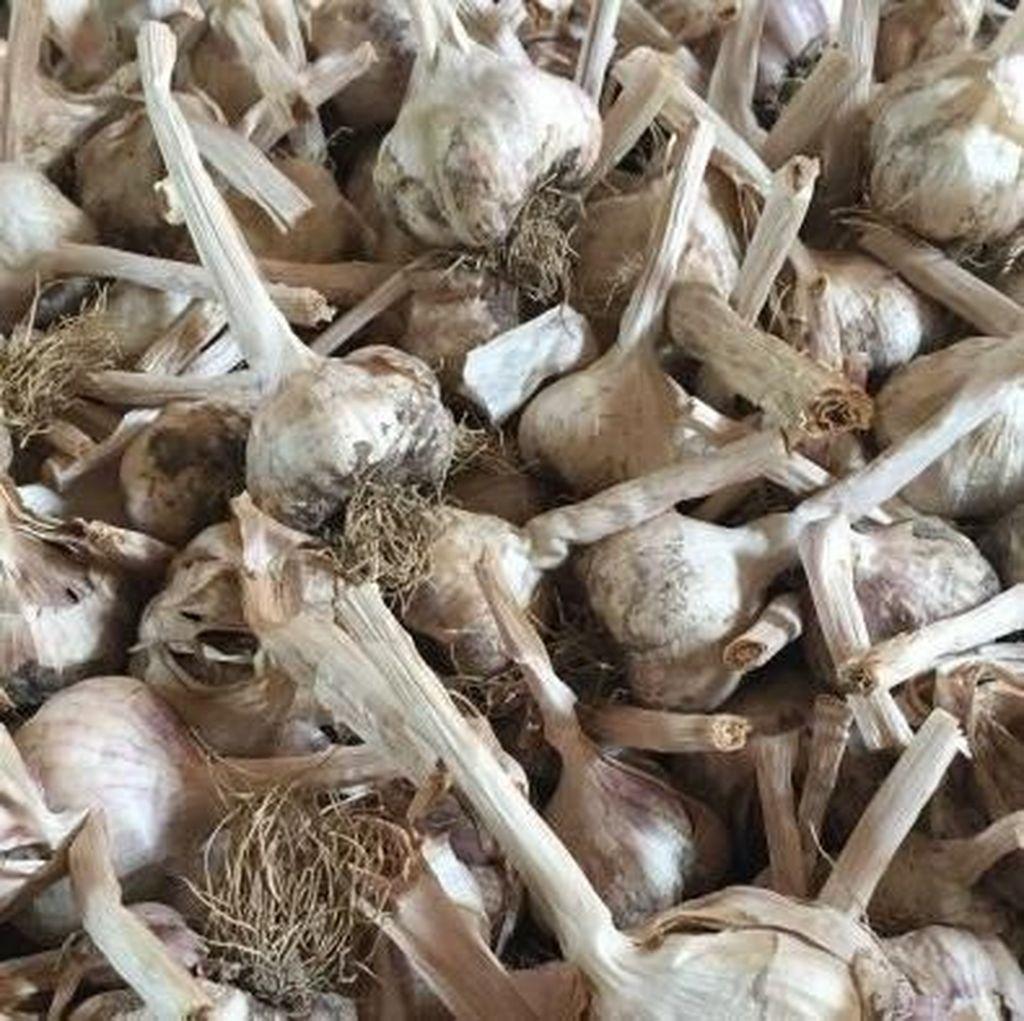 Tanaman Bawang Putih Seharga Rp 150 Juta Dicuri di Australia