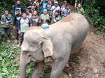 Kisah Gajah Septi, 5 Tahun Terjebak di Perkebunan Kini Dievakuasi