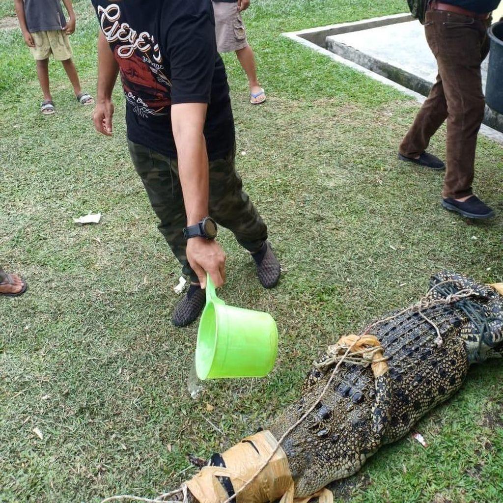 Warga Riau Tangkap Buaya Masuk Persawahan