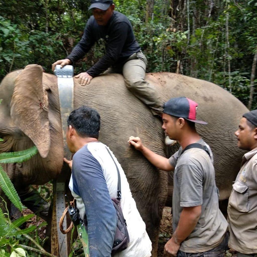Potret Gajah Septi yang 5 Tahun Terjebak di Perkebunan Warga