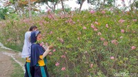 Kepala Bidang Ruang Terbuka Hijau dan PJU DKRTH Surabaya Hendri Setianto mengatakan, pemkot sebenarnya sudah menanam pohon sakura sejak 5 tahun terakhir. Namun ia mengakui jumlahnya masih belum banyak.