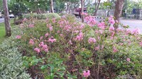 Selain menanam sakura dari jenis semak-semak, pihaknya juga sudah menanam pohon sakura yang besar. Penanaman itu sudah dilakukan di beberapa jalan protokol dan taman.