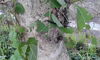 Hiii... Ini Penampakan Ulat Pohon Jati yang 'Teror' Bojonegoro