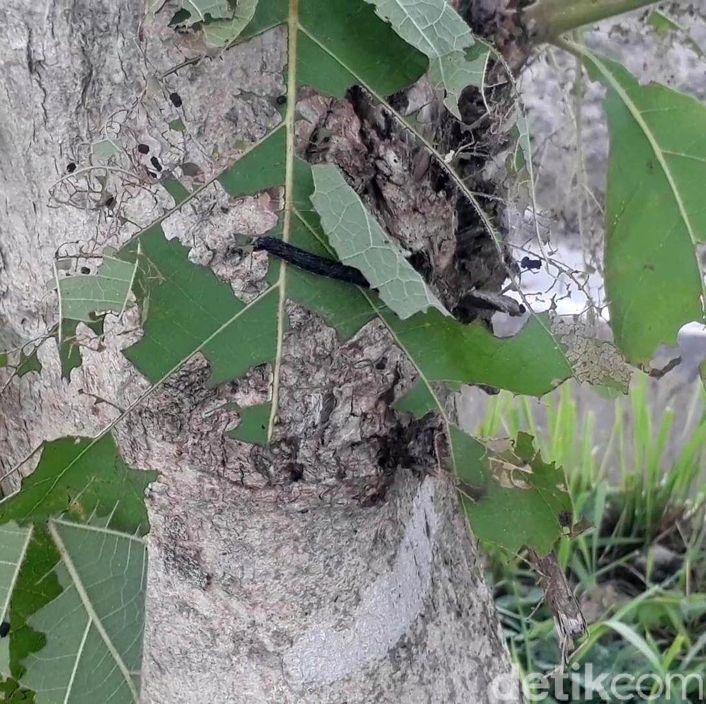 Hiii... Ini Penampakan Ulat Pohon Jati yang Teror Bojonegoro