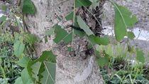 Hiii... Ngeri, Penampakan Ulat Pohon Jati yang Teror Bojonegoro