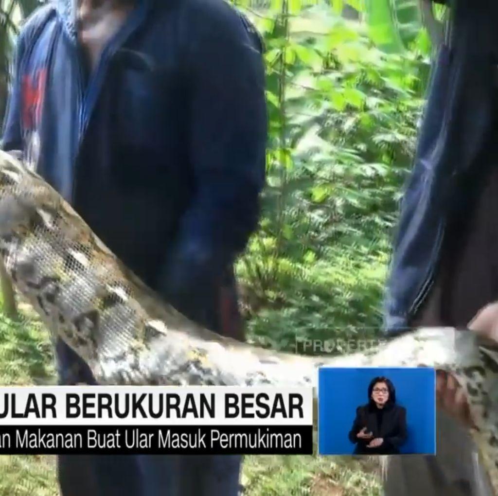 Dua Piton Emosi, Bela Diri Saat Mau Ditangkap Warga Tangerang