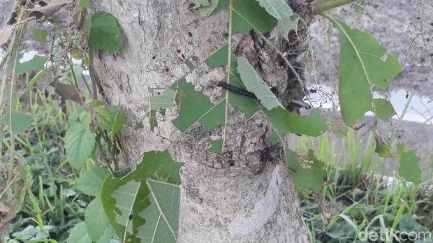 Bukan Ulat Bulu, 'Teror' Ulat Pohon Jati Juga Terjadi di Bojonegoro
