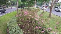 Viralnya pohon tabebuya yang sempat dikira sebagai pohon sakura di Surabaya tak pelak membuat kota ini menjadi bahan perbincangan hangat beberapa waktu lalu. Namun ternyata Pemkot Surabaya juga telah menanam pohon sakura betulan di sejumlah titik.