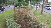Pohon Sakura di Surabaya Bikin Hati Adem, Jakarta Kapan?