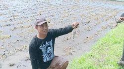 Hiii, Para Petani di Ngawi Berlomba Tangkap Tikus Sawah
