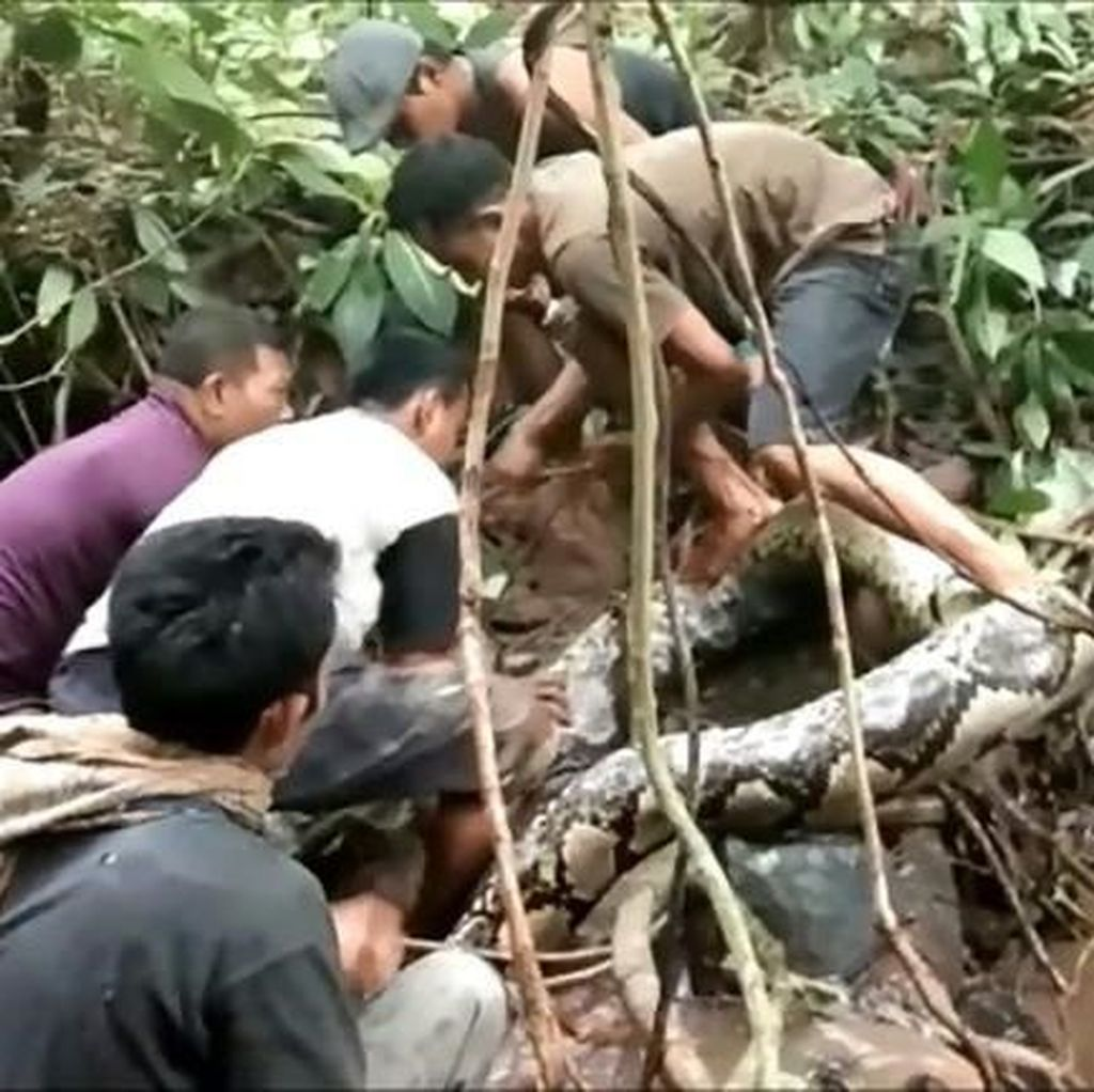 Video Warga di Sumatera Barat Bergulat dengan Piton Raksasa