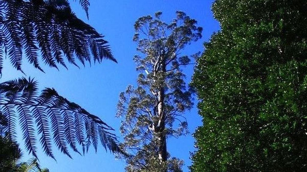 Pohon Tertinggi di Australia Sudah Melebihi 100 Meter
