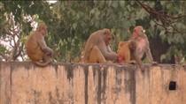 Ribuan Monyet Invasi Kantor Pemerintahan India