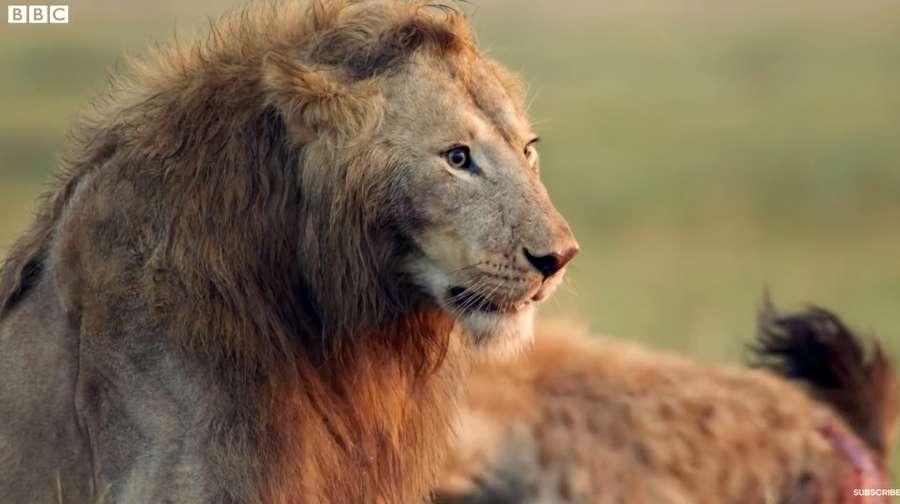 Mirip The Lion King, Singa Ini Hampir Mati oleh Hyena