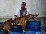BKSDA Aceh Terima Sitaan Kulit Harimau yang Dijual Penyelundup