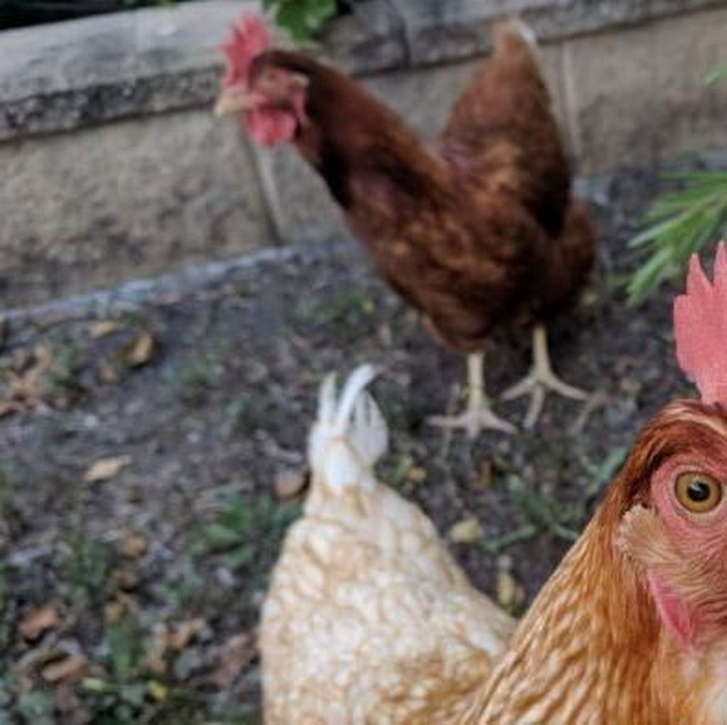 Kebiasaan Pelihara Hewan di Belakang Rumah Jadi Bom Waktu Wabah Penyakit