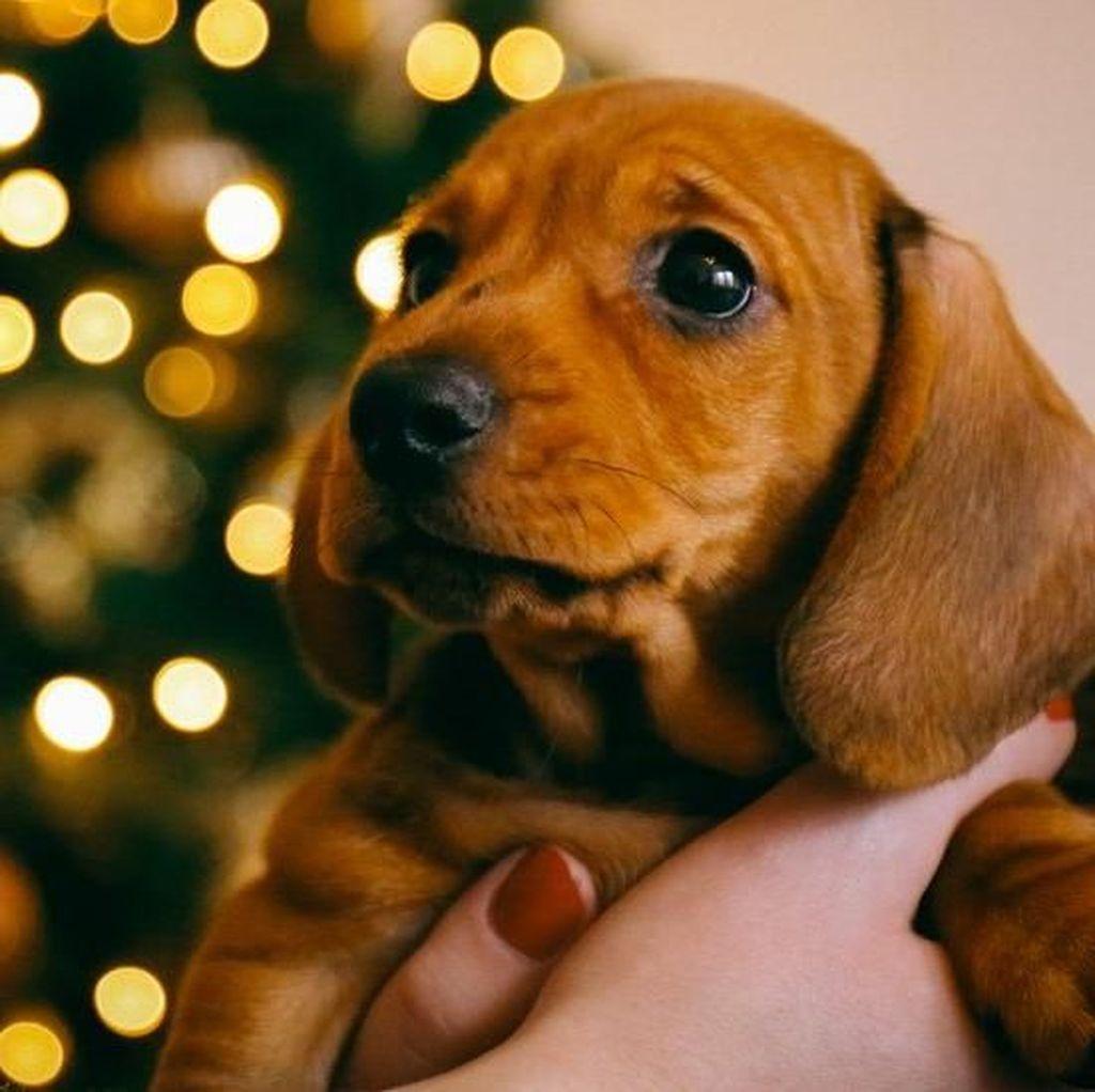 Di Jerman, Anjing Tak Boleh Lagi Jadi Hadiah Natal