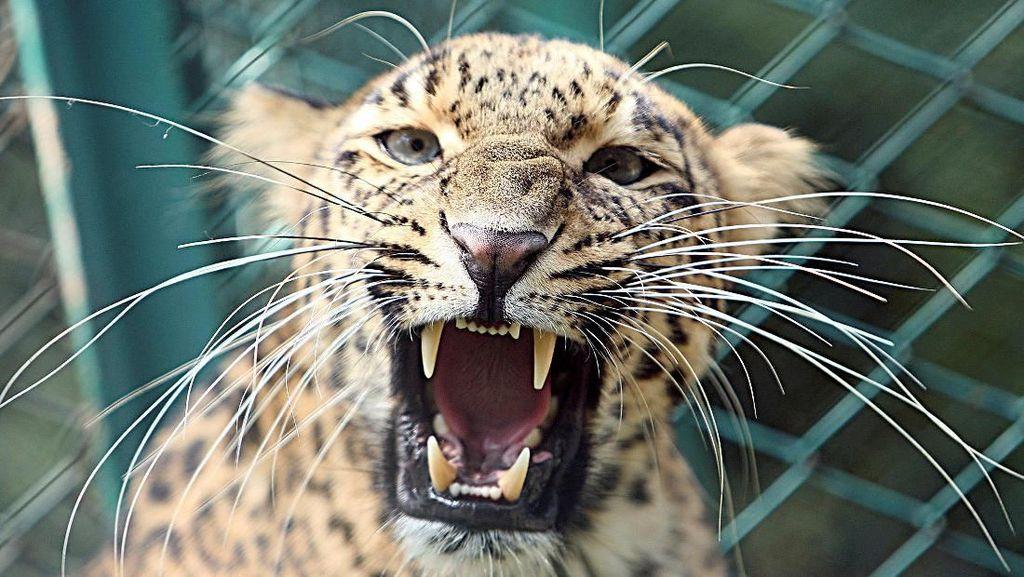 Tragis! Bocah 3 Tahun di India Tewas Usai Diculik Macan Tutul