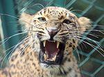 India Buru Macan Tutul Pembunuh Biksu yang Sedang Meditasi