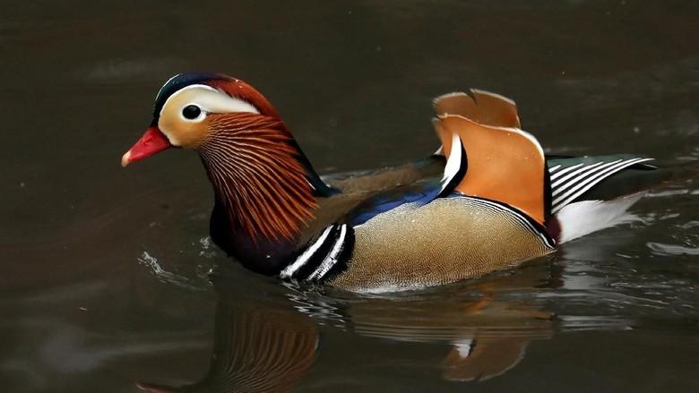 Keindahan Misterius Bebek Mandarin yang Hiasi Kolam Central Park