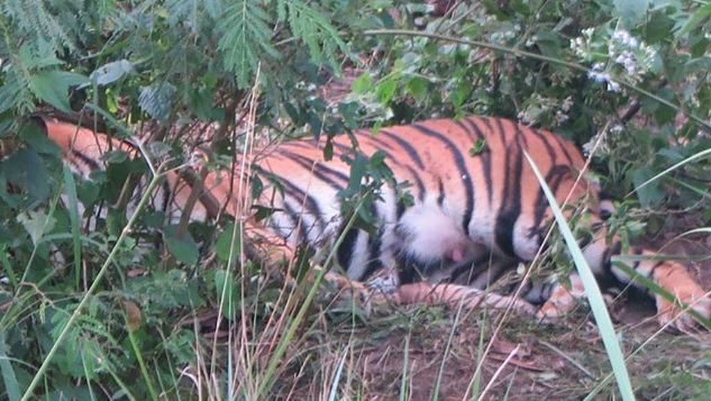 Kabar Gembira, Telah Lahir Dua Anak Harimau Sumatera