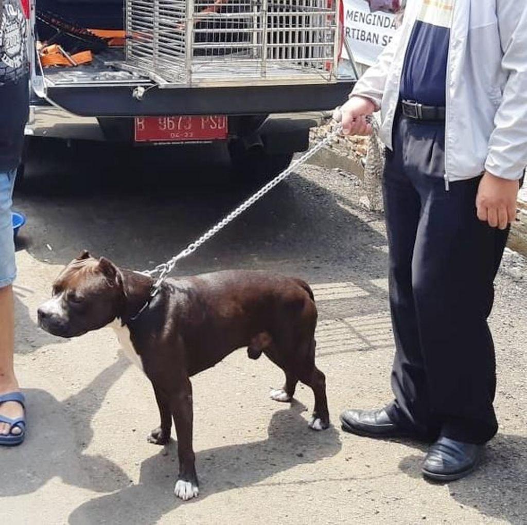 Jika Tak Lagi Diikat, Pitbull yang Serang Satpam akan Ditangkap