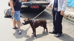 Polisi Proses Laporan Satpam yang Diserang Pitbull di Jakpus