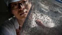 Mengintip Isi Pabrik Nyamuk Terbesar di Dunia