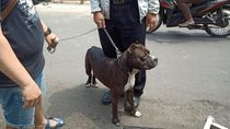 Pemilik Pitbull Tanggung Biaya Pengobatan Satpam yang Diserang Anjingnya
