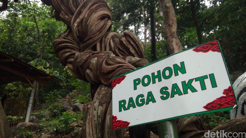 Raga Sakti adalah pohon kramat yang usianya ratusan tahun. Pohon kramat ini memiliki batang kayu yang unik, berlipat-lipat dan melilit pohon-pohon di sekitarnya. (Sudirman Wamad/detikTravel)