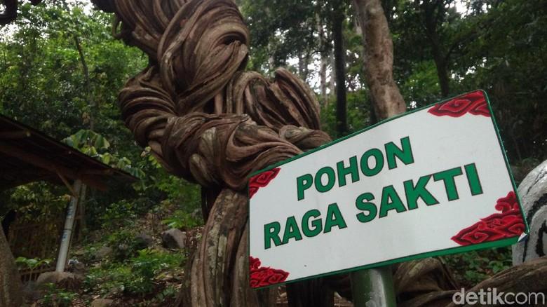 Pohon Raga Sakti (Sudirman Wamad/detikTravel)