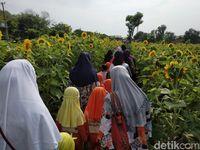 Liburan Akhir Tahun di Kediri, Ada Kebun Bunga Matahari yang Lagi Viral
