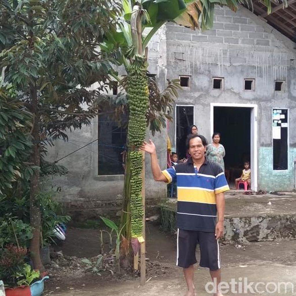 Unik Nih, Tandan Pisang di Salatiga Ini Panjangnya Nyaris 2 Meter