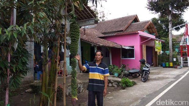 Tandan pisang sepanjang hampir 2 meter di Salatiga.