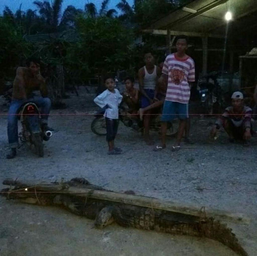 Buaya 3 Meter di Aceh Ditangkap saat Makan Ternak Warga