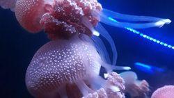 Budidaya Ubur-ubur, SeaWorld Belajar ke China & Hong Kong